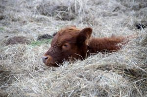 cow resting in hay